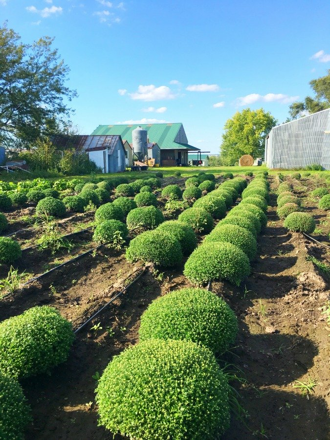 fall in love with Fall in Iowa-peppermillbnb-mums